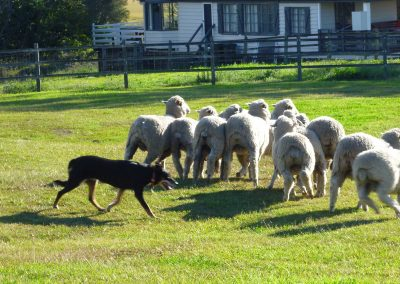 gold-coast-sheep-working-dog